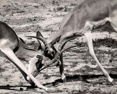 Impala dominance # 5