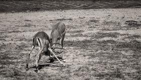 Impala dominance # 6