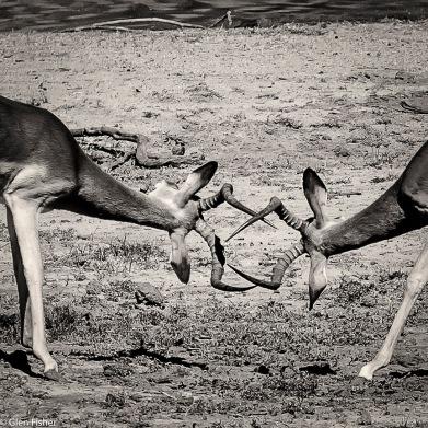 Impala dominance # 9