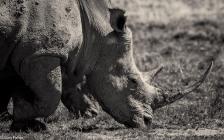 Rhino # 1
