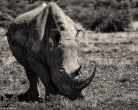 Rhino # 2