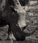 Rhino # 3