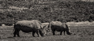 Rhino # 4