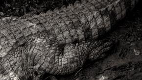 Crocodile foot