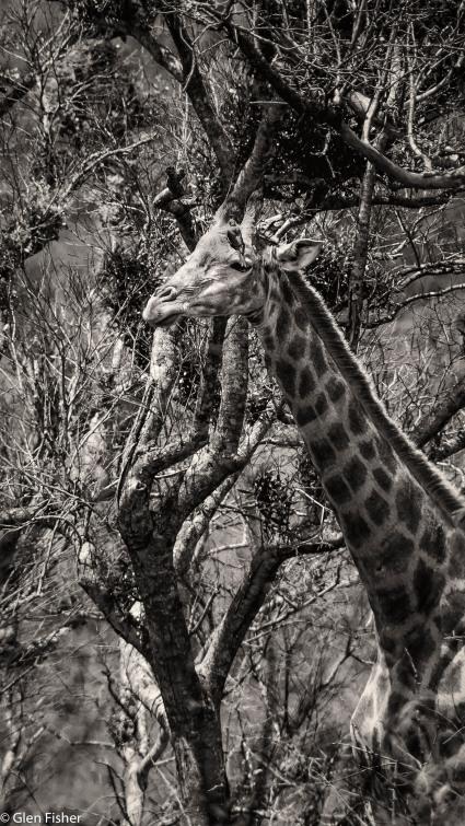 Giraffe with oxpecker