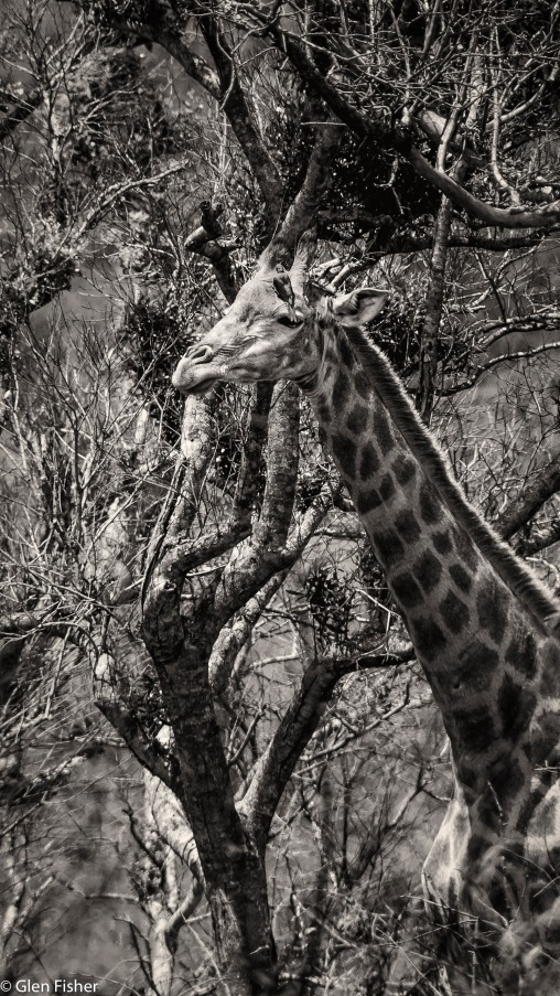 Giraffe with oxpecker