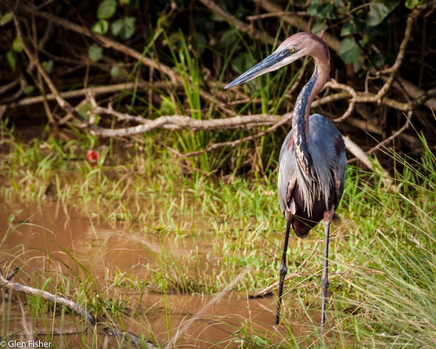 Heron, St Lucia