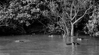 Hippos, St Lucia # 1