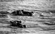 Hippos, St Lucia # 4