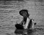 Hippos, St Lucia # 5