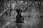 Hippos, St Lucia # 6