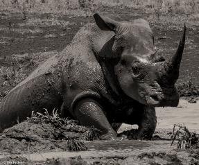 Hluhluwe rhino # 1