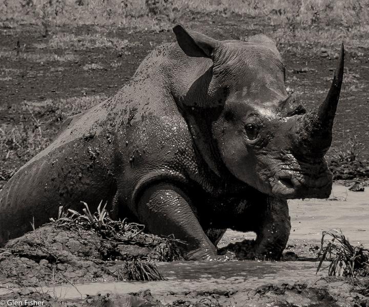 Photographing rhino