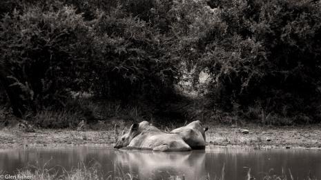 Hluhluwe rhino # 2