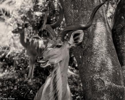 Kudu, St Lucia # 1