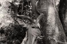 Kudu, St Lucia # 2
