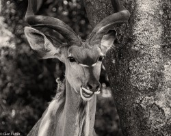 Kudu, St Lucia # 3