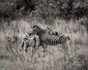 Zebra pattern, St Lucia