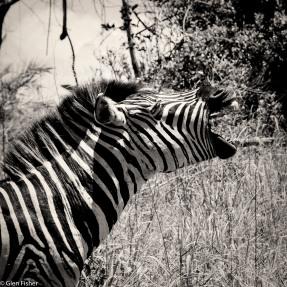 Zebra vocal, St Lucia