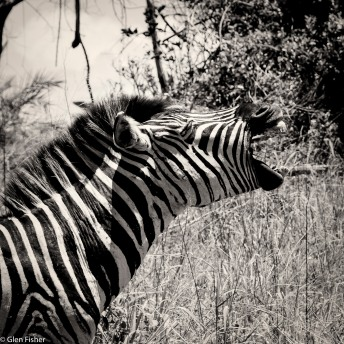 Zebra vocal, St Lucia