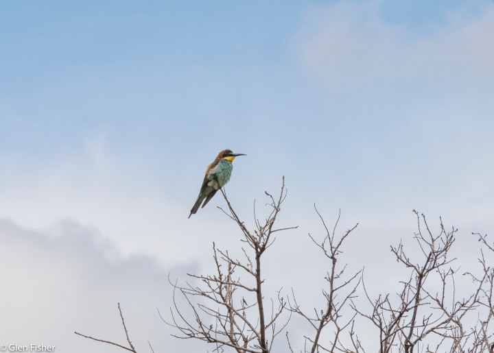 Two giraffe and a Europeanbee-eater