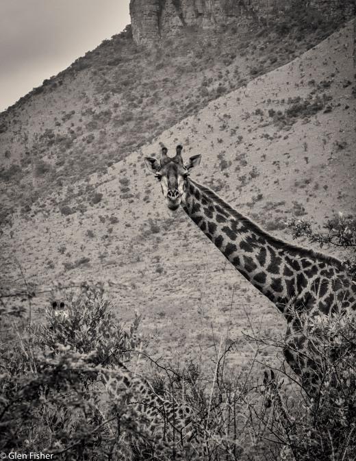 Giraffe, Marakele # 1