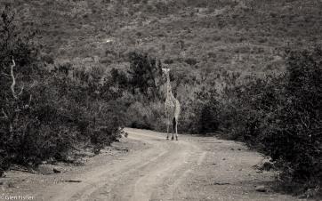 Giraffe, Marakele # 2