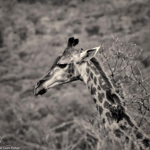 Giraffe, Marakele # 3