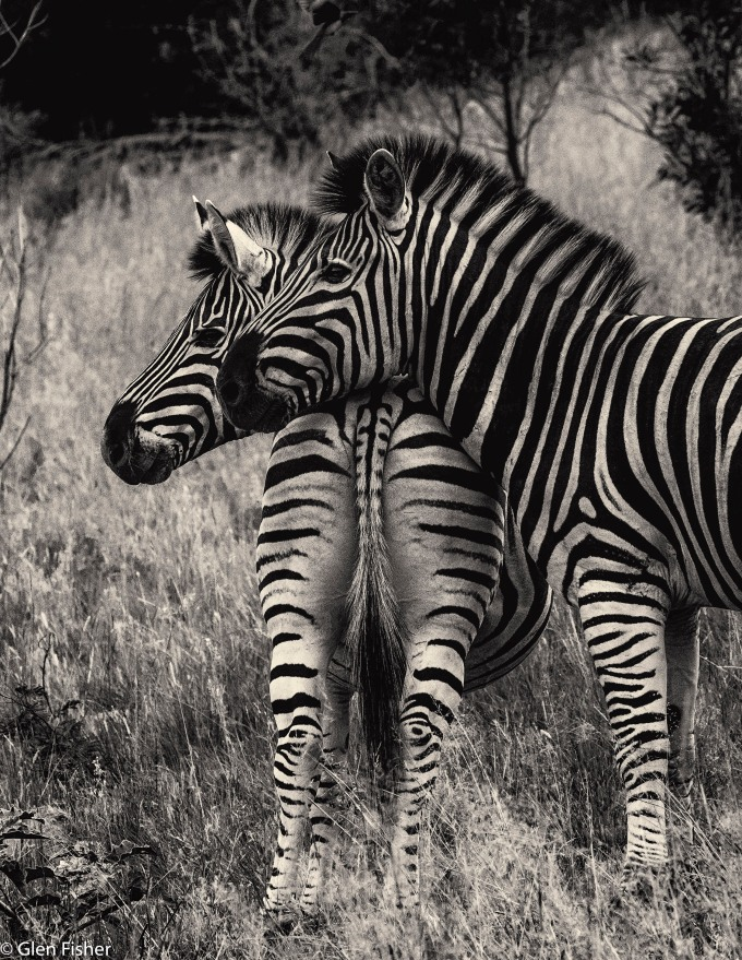Zebra, Marakele # 1