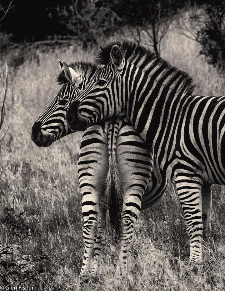 Zebra to therescue