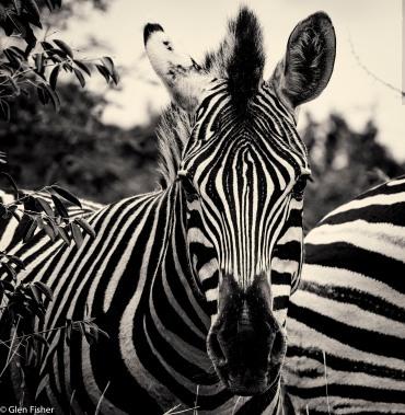 Zebra, Marakele # 2