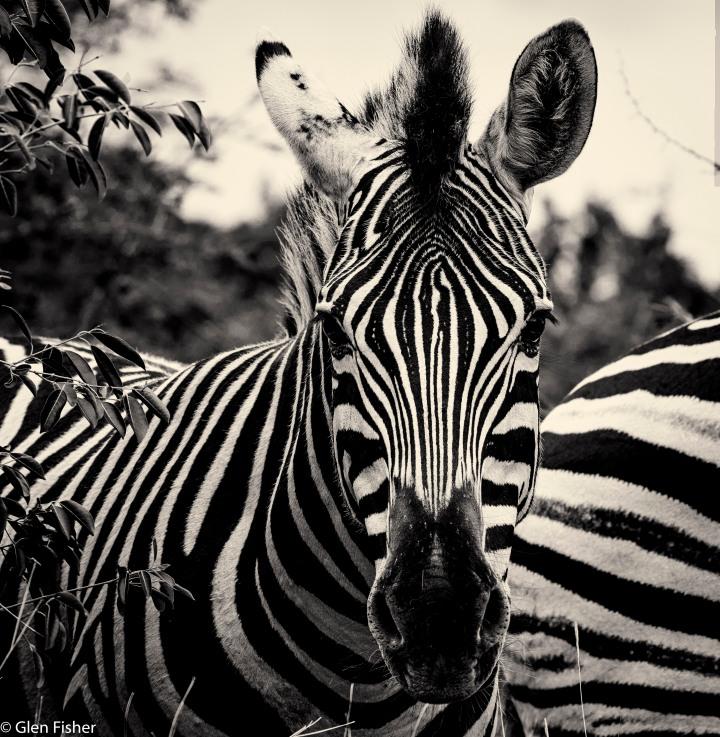 Five zebra and agiraffe