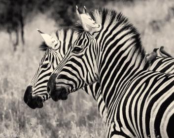 Zebra, Marakele # 3