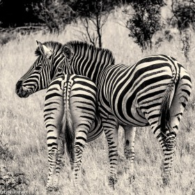 Zebra, Marakele # 4