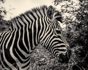 Zebra, Marakele # 5