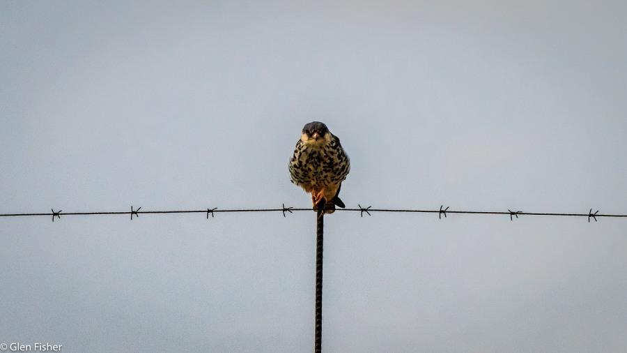 Female Amur Falcon.jpg