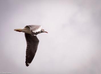 Flight # 6Grey-Headed Gull