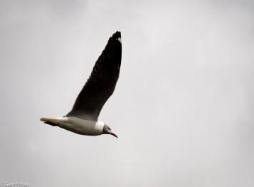 Flight # 7Grey-Headed Gull