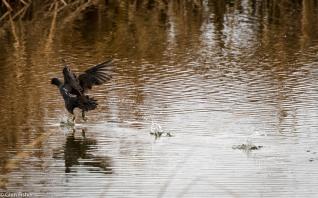Moorhen splashdown
