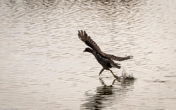 Moorhen, Walking on Water # 1