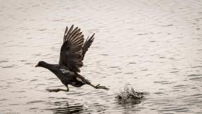 Moorhen, Walking on Water # 2