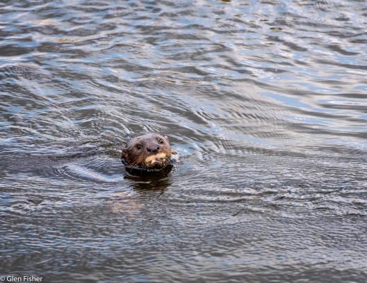 Otter, Marievale # 1
