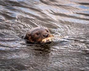 Otter, Marievale # 2