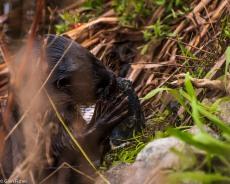 Otter, Marievale # 3
