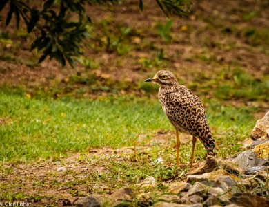 Spotted thick-knee (Dikkop) # 1