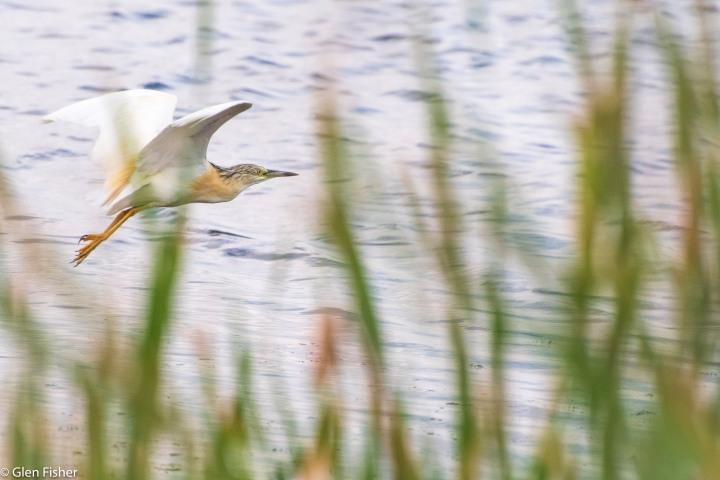 Squacco Heron, Marievale