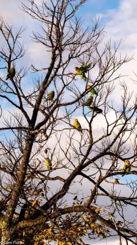 A flock of lovebirds