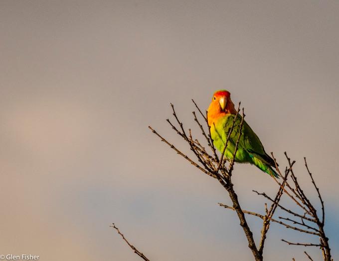 Lovebird # 1.jpg