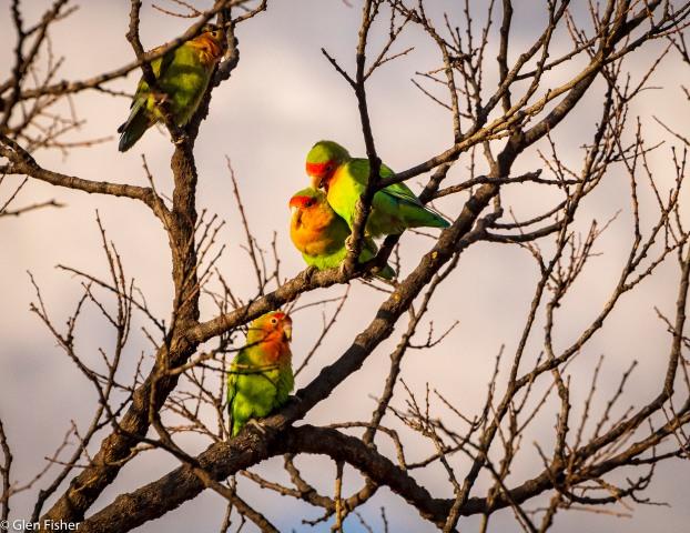 Lovebirds grooming
