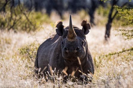 Black rhino, Madikwe